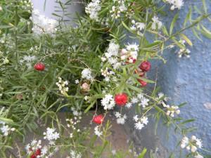 Šatavari - chřest hroznovitý (Asparagus racemosus)