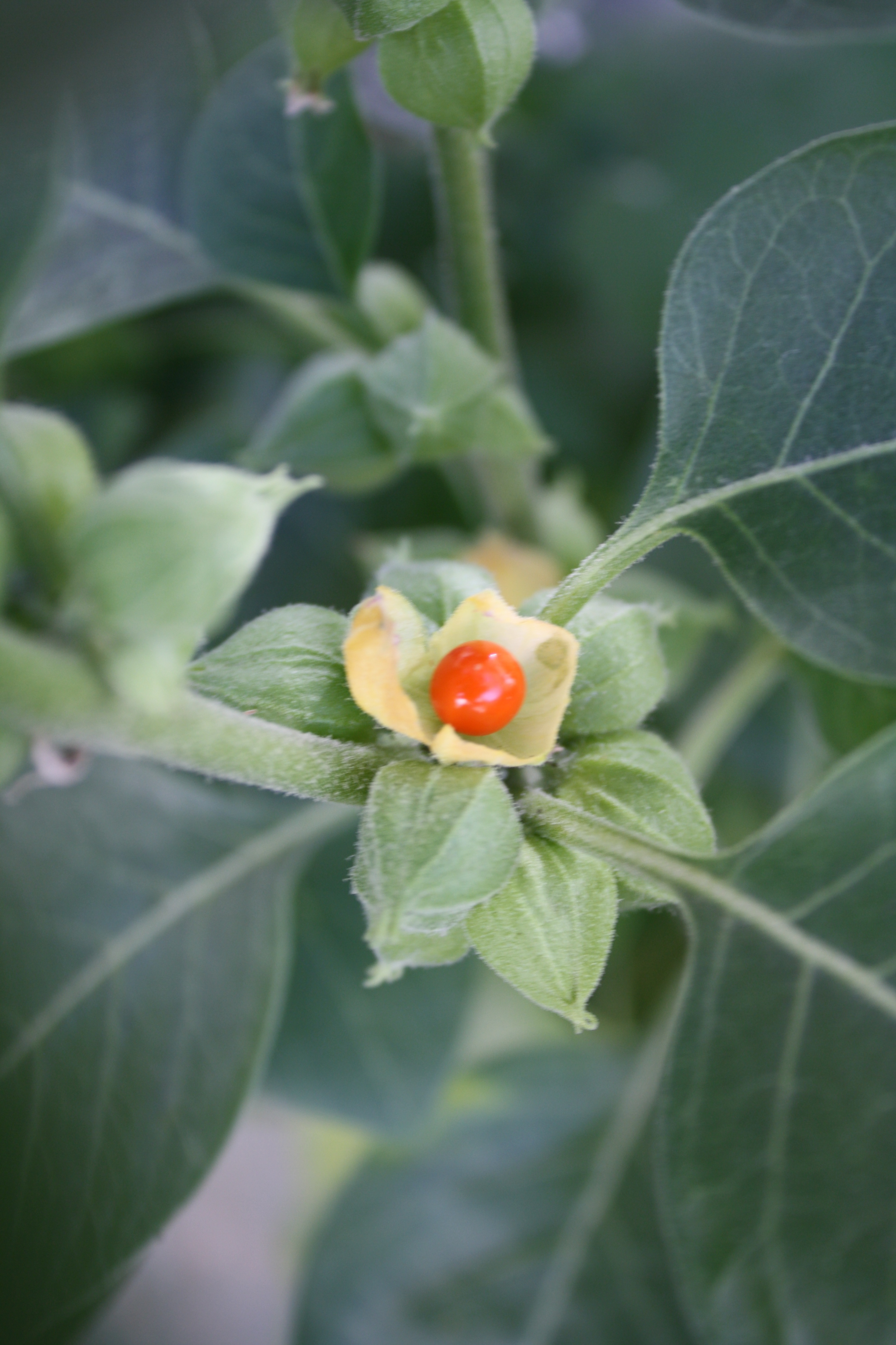 Ašvaganda (psáno rovněž ašwaganda, botanický název witánie snodárná, lat. Withania somnifera)  autor: Wowbobwow12